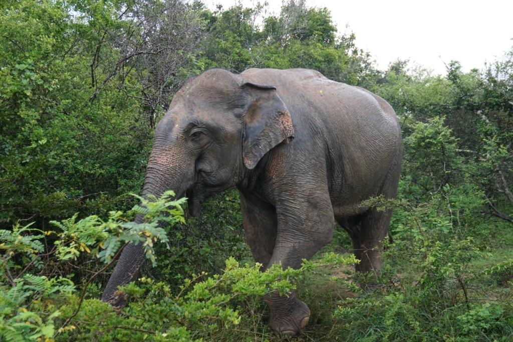 yala-elephant
